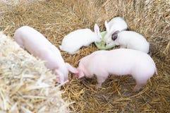 Dwa świni na gospodarstwie rolnym z królikami Zdjęcia Stock
