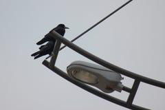 Dwa wroni obsiadanie na lampionie przeciw szaremu niebu fotografia royalty free