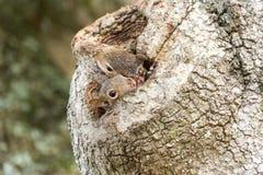 Dwa Wschodnich szarość wiewiórek zerkania od Dębowego drzewa wydrążenia obrazy royalty free