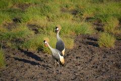Dwa Wschodniego afrykanina Koronowanego żurawia Obrazy Royalty Free