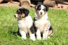 Dwa wspaniałego szczeniaka australijska baca Zdjęcie Royalty Free