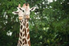 Dwa żyrafy obrazy stock