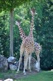 Dwa żyrafy Zdjęcie Stock