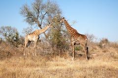 DWA żyrafy PASA W wczesnym poranku Obraz Stock