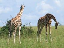 Dwa żyrafy w pogodnym ambiance Zdjęcia Stock