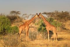 Dwa żyrafy w sawannie obraz stock