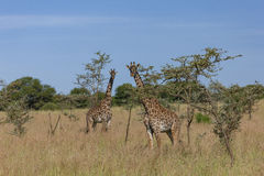Dwa żyrafy w Serengeti Zdjęcie Royalty Free