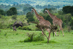 Dwa żyrafy w Tanzania Obraz Royalty Free