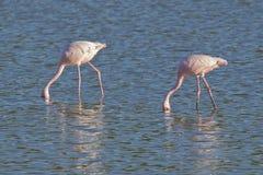 Dwa żywieniowego flaminga Obrazy Royalty Free