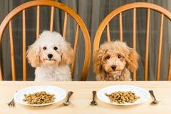 Dwa zanudzający i niezainteresowani pudli szczeniaki z dwa talerzami kibbles na stole Obraz Royalty Free
