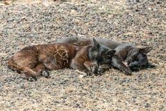 Dwa zdziczałego kota ma dobrego czas blisko Caleta plaży w losu angeles Gomera wyspie Para śpi sweetly, wygrzewający się na porow zdjęcie royalty free