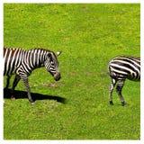 Dwa zebr łasowania trawa blisko nieżywego drzewa Obraz Stock
