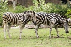 Dwa zebr łasowania trawa Fotografia Royalty Free