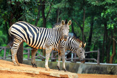 Dwa zebra Zdjęcie Royalty Free
