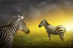 Dwa zebra na obszarze trawiastym Obrazy Stock
