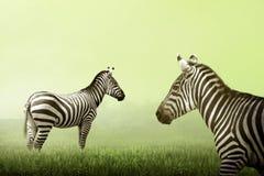 Dwa zebra na obszarze trawiastym Zdjęcie Royalty Free