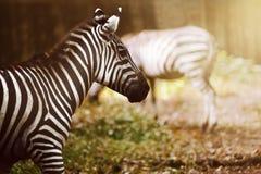 Dwa zebra na obszarze trawiastym Zdjęcia Royalty Free