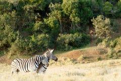 Dwa zebra Naciera niektóre miłości na each inny Zdjęcia Royalty Free
