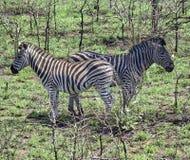 Dwa zebra patrzeje w opposite kierunku Zdjęcie Stock