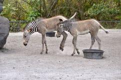 Dwa zebra źrebaka Obraz Royalty Free