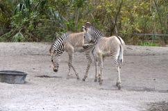 Dwa zebra źrebaka Fotografia Royalty Free