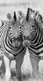 Dwa zebra stoi wpólnie Obrazy Royalty Free