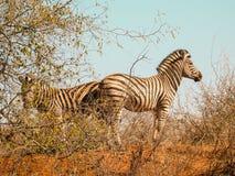 Dwa zebra trwanie z powrotem popierać w sparce Afrykańskim krzaku Obrazy Stock