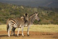 Dwa zebra w świetle słonecznym Obraz Royalty Free