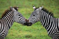Dwa zebry bawić się z each inny Kenja Tanzania Park Narodowy kmieć Maasai Mara obraz stock