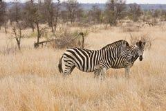 Dwa zebry chodzi w krzaku, Kruger park narodowy, Południowa Afryka Fotografia Stock