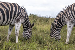 Dwa zebry Pasa na obszarze trawiastym Przeciw Chmurzącemu niebu Obraz Stock
