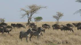 Dwa zebry stoi w suchej trawie przeciw tłu przepływ migrowania wildebeest w porze suchej w Serengeti zbiory wideo
