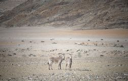 Dwa zebry w Afryka Obrazy Royalty Free