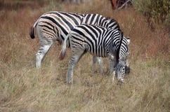 Dwa zebry w Afryka Zdjęcia Royalty Free