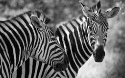 Dwa zebry w czarny i biały obszyciu kamera w Gemowym parku w Południowa Afryka Zdjęcie Royalty Free