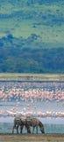 Dwa zebry w tło flamingu Kenja Tanzania Park Narodowy kmieć Maasai Mara fotografia royalty free