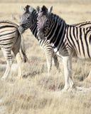Dwa zebry w trawie w Etosha parku narodowym Obrazy Royalty Free