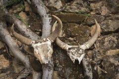 Dwa Zebu czaszki na antycznym rytuale w Madagascar Fotografia Stock