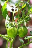 dwa zielone pomidory Zdjęcia Royalty Free