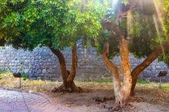 Dwa zielonego drzewa blisko kamiennej ściany przez którego penetruje słońce promień obrazy royalty free