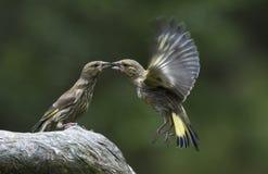 Dwa zielonego finches zdjęcie royalty free