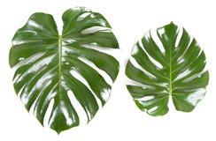 Dwa zielonego liścia Monstera na białym odosobnionym tle Pojęcie mody narastająca flora fotografia stock