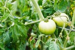 Dwa zielonego pomidoru na krzaku w ogródzie Zdjęcia Stock