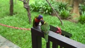 Dwa zielonej papugi karmi each inny w ptaka parku lub całuje zbiory wideo