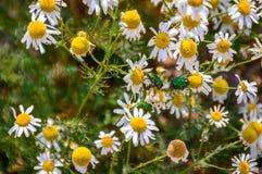 Dwa zielonej szmaragdowej pluskwy na białych kwiatach Fotografia Royalty Free