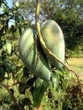 Dwa zielony mango na drzewie Zdjęcia Stock