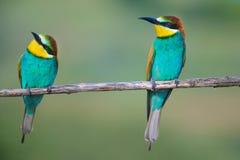 Dwa zjadacza siedzi na gałąź Zdjęcia Royalty Free