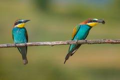 Dwa zjadacza siedzi na gałąź Zdjęcia Stock