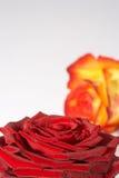 dwa zweifarbige kolorowy rose Zdjęcia Stock