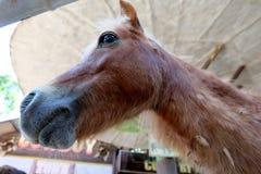 Dwalf horse. Bown dwalf horse Stock Images